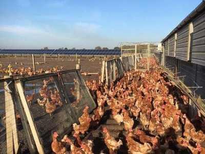 农场主的女儿 农场主女儿网上求助救了7000只母鸡的命