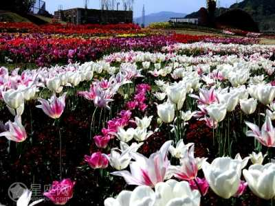 4月25日是什么星座的 4月25日生日花语